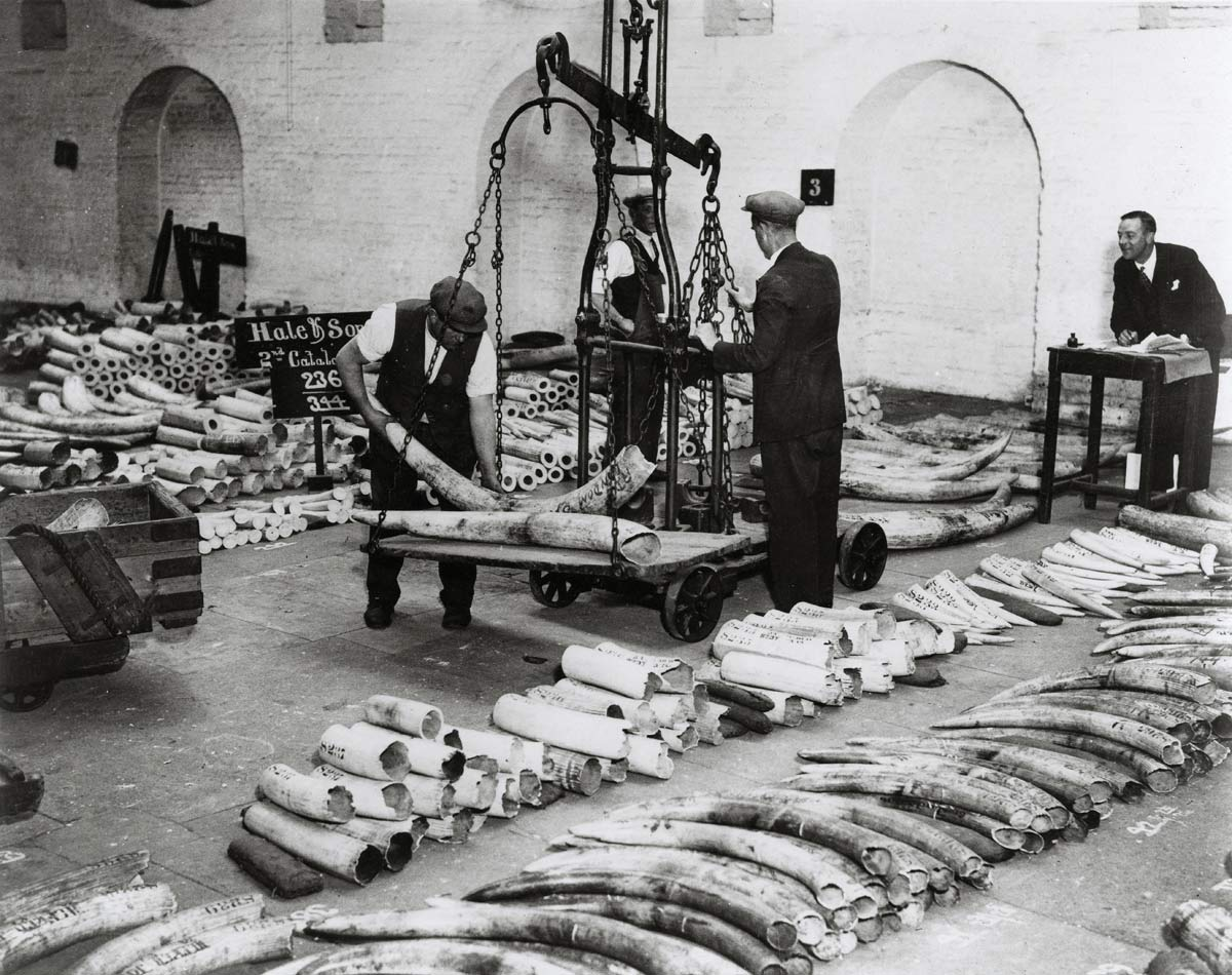 Workmen stack elephant tusks in a warehouse on the London Docks. Copyright PLA Archive/Museum of London.