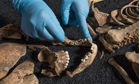 An archaeologist at the Museum of London places bones in a display case.