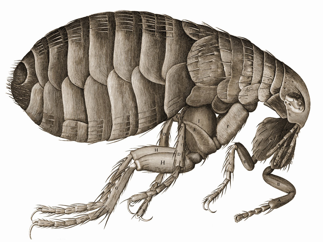 Schem. XXXIV - Of a Flea. An illustration of a flea. Drawn by Robert Hooke in 1665.