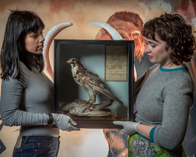 Display case holding the taxidermied Peregrine falcon of St Paul's, held by two Museum staff