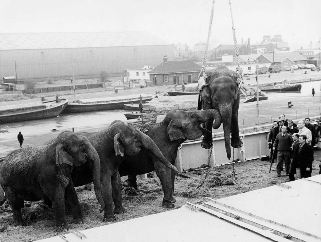 Elephants being unloaded from a tour of South Africa at Docklands, PLA Archive.